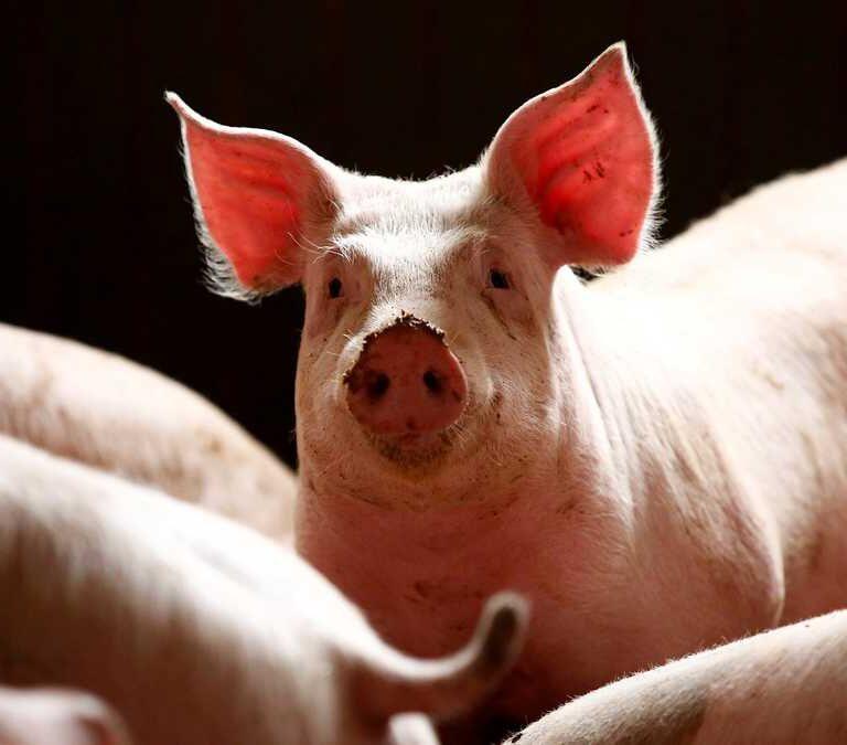 La peste porcina africana